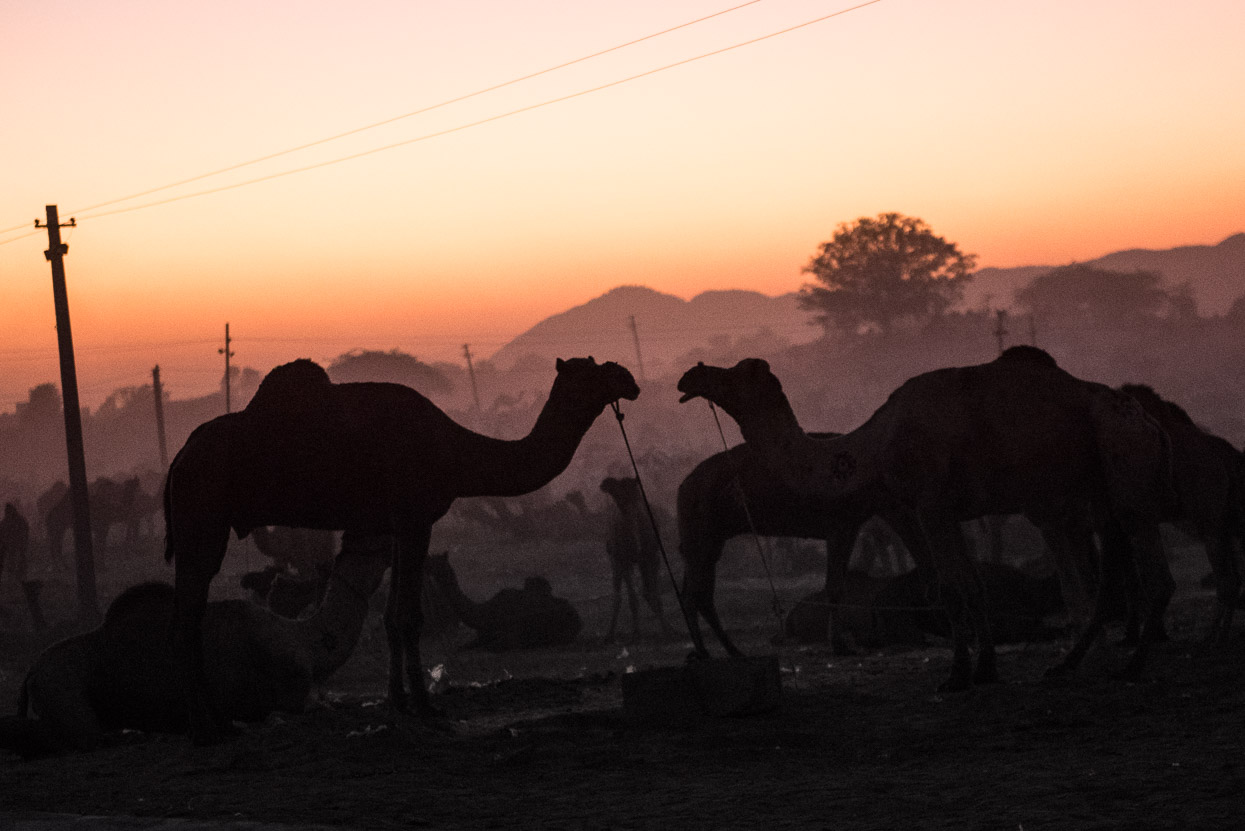 pushkar camel love affair