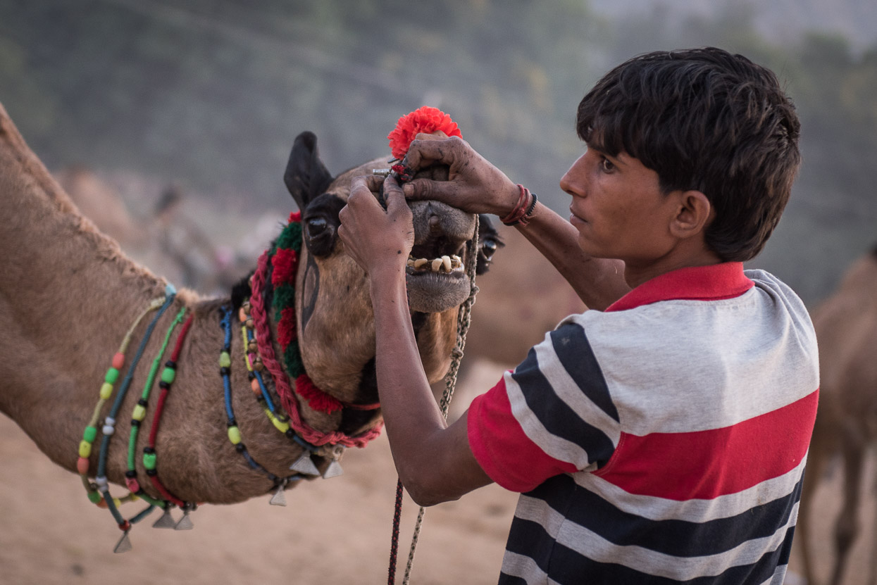 Camel gets a nose ring at Pushkar Camel Fair